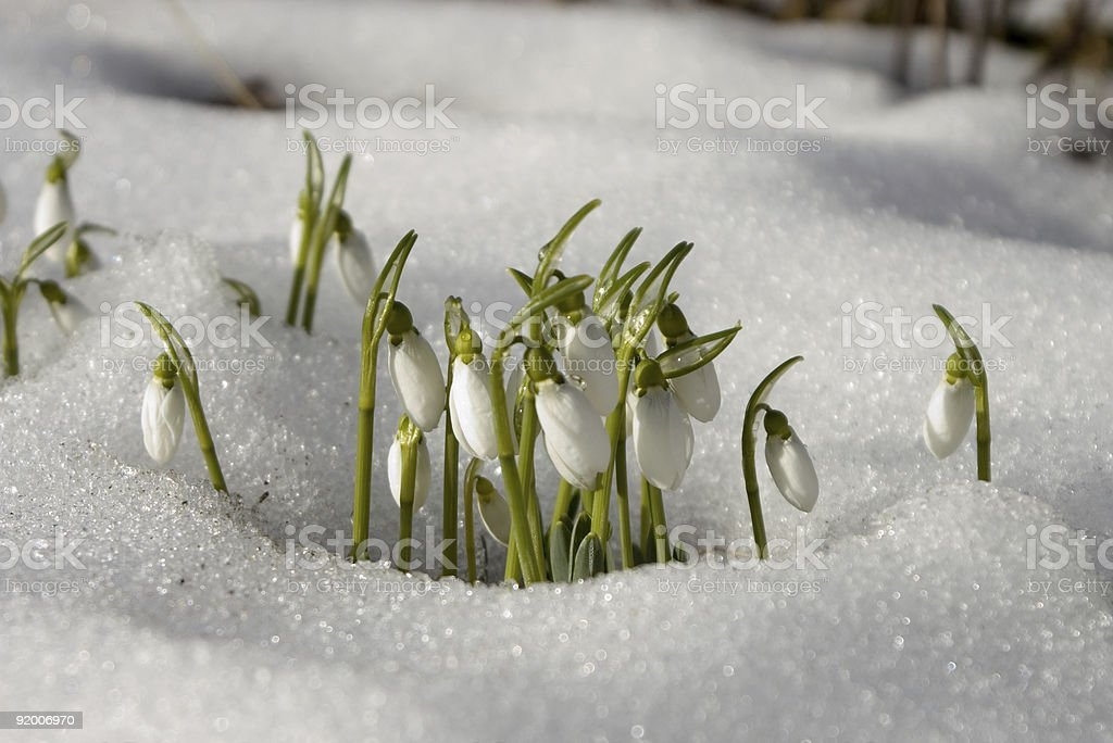 snowdrops in the snow royalty-free stock photo