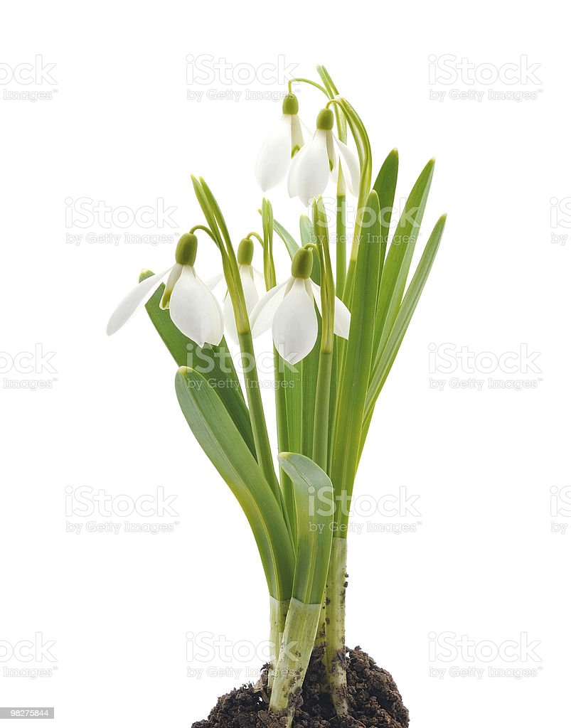 Snowdrops (Galanthus nivalis) on white background royalty-free stock photo