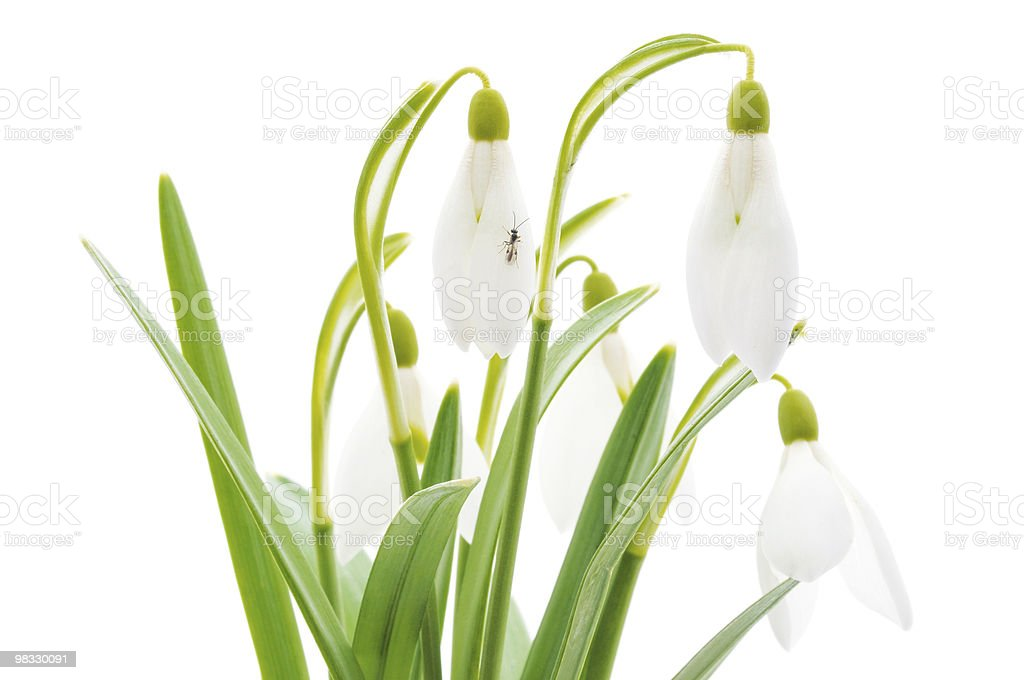 Galanthus nivalis Snowdrops (흰색 배경) royalty-free 스톡 사진