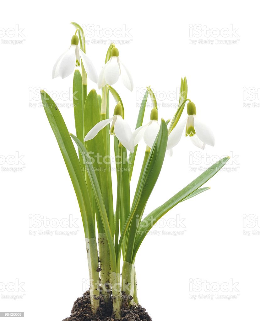 Galanthus nivalis Snowdrops (흰색 배경) royalty-free 스톡 사진