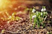 Snowdrop flowers
