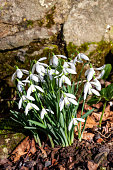 Snowdrops (galanthus) an early winter spring flowering  bulbous plant with a white springtime flower which opens in January and February, stock photo image