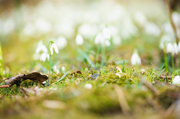 snowdrops - leucojum stock-fotos und bilder