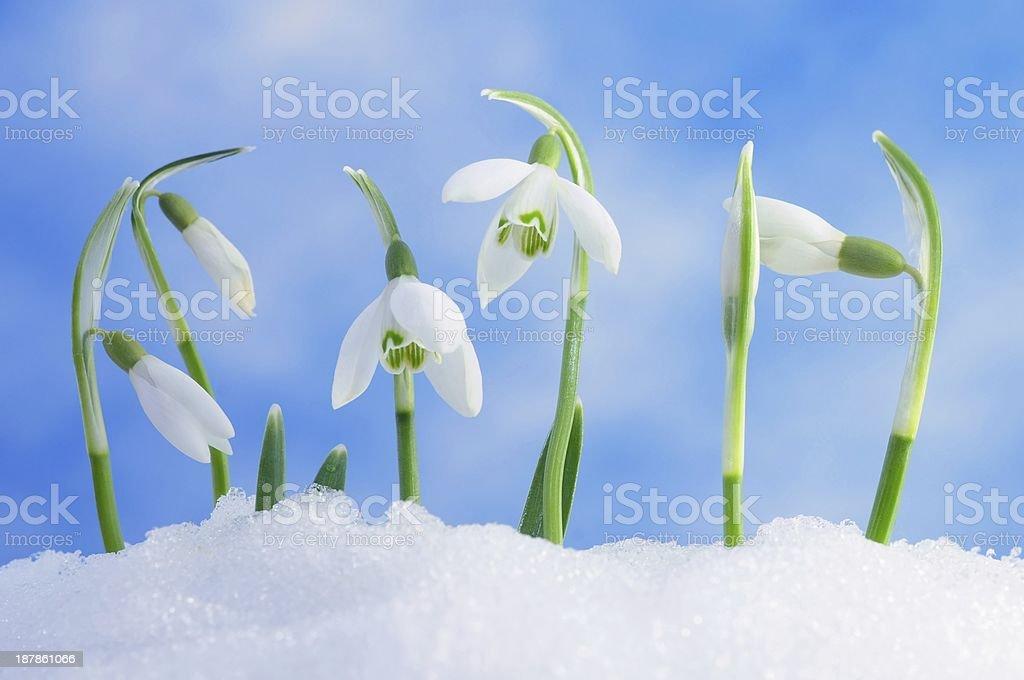 snowdrops royalty-free stock photo