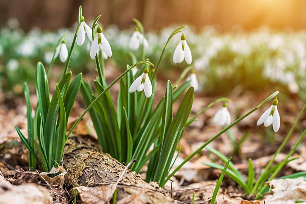 snowdrops  - paysage mois de mars photos et images de collection