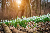 Snowdrops flowering with autumn leaves on the soil