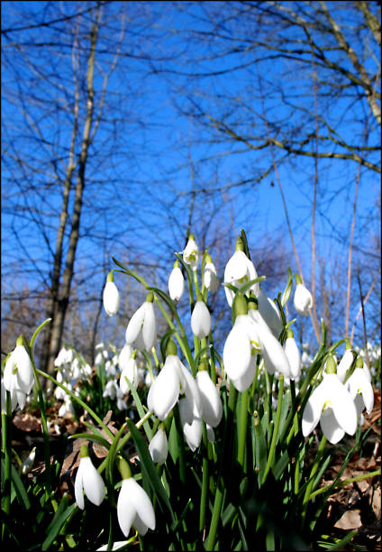snowdrops - snowdrops stock photos and pictures