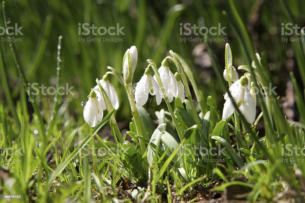 Snowdrops - Royalty-free Agricultural Field Stock Photo