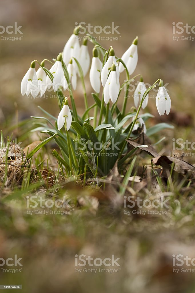 Snowdrops (Amaryllidaceae) royalty-free stock photo