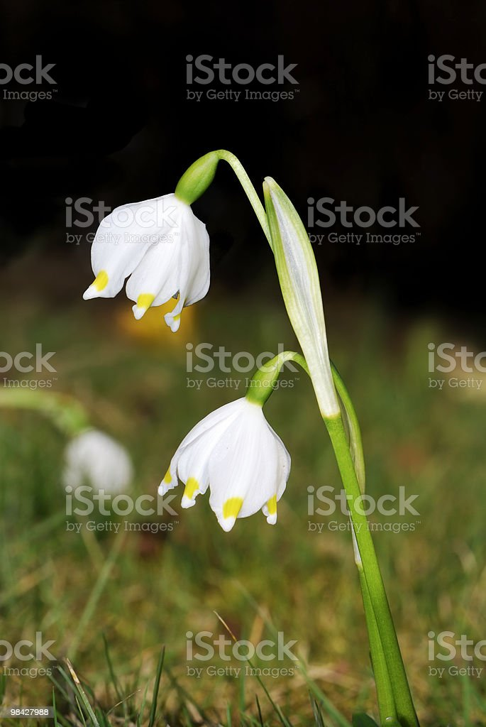 Snowdrops royalty-free 스톡 사진