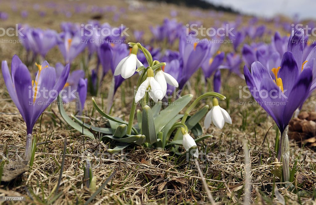 Snowdrops surrounded by purple Crocuses royalty-free stock photo