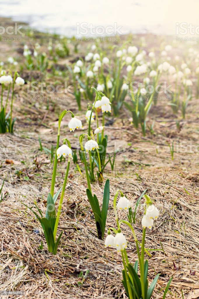 Snowdrops. The first spring flowers. stock photo