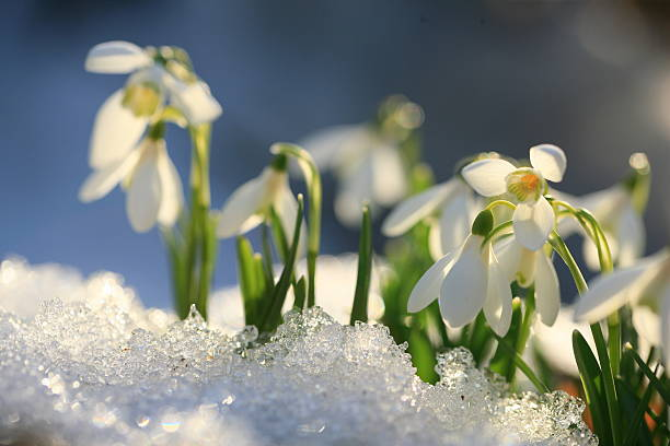 snowdrops through snow - snowdrops stock photos and pictures