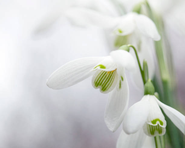 snowdrops - uk - snowdrops stock photos and pictures