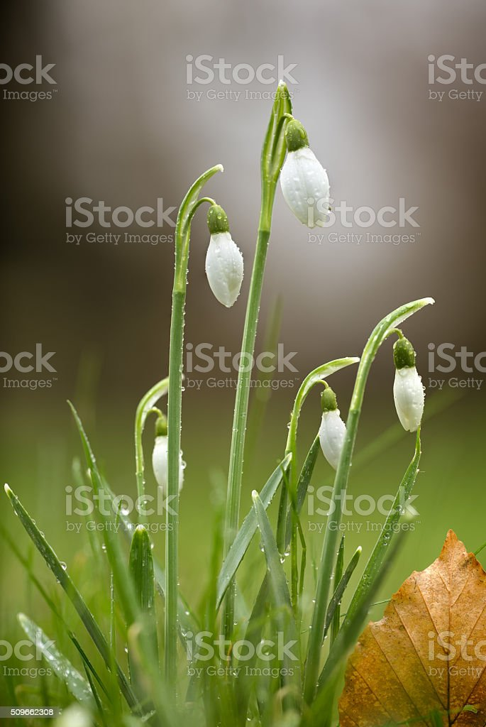 Snowdrops with early morning dew stock photo