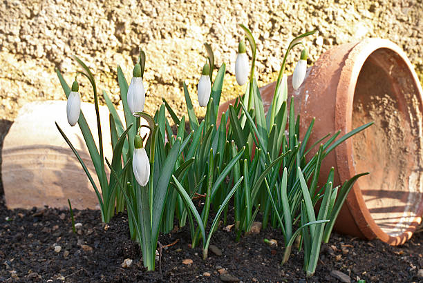 snowdrops with old planter stock photo