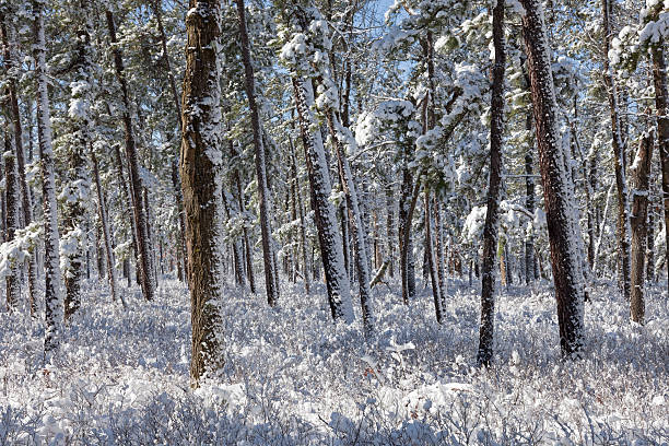 Snowfall In A Pine Forest stock photo