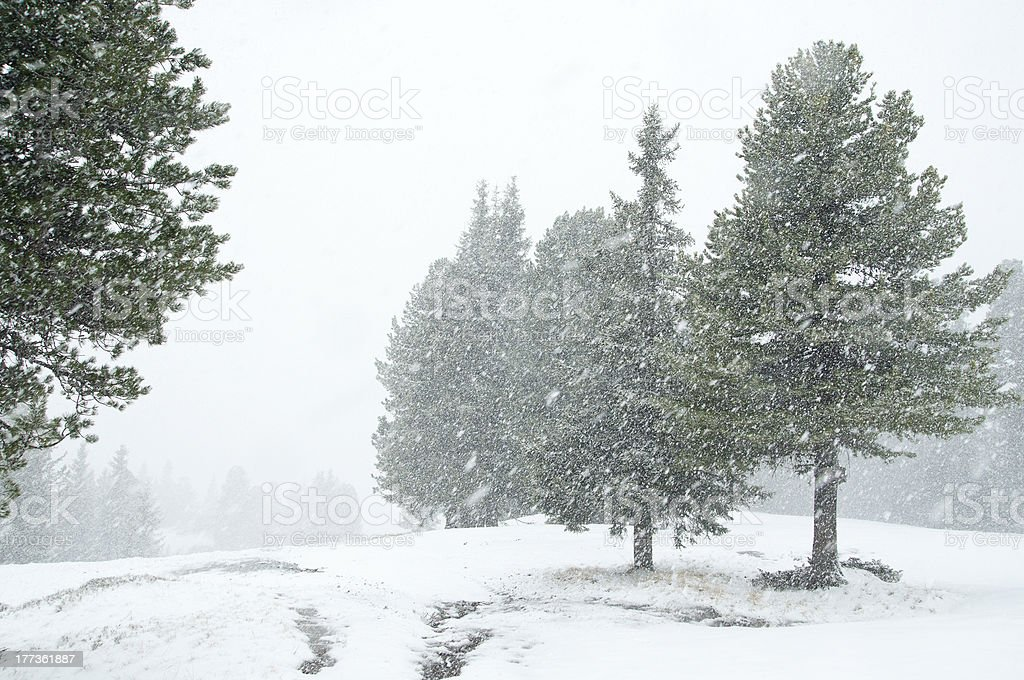 Snowfall in evergreen forest royalty-free stock photo