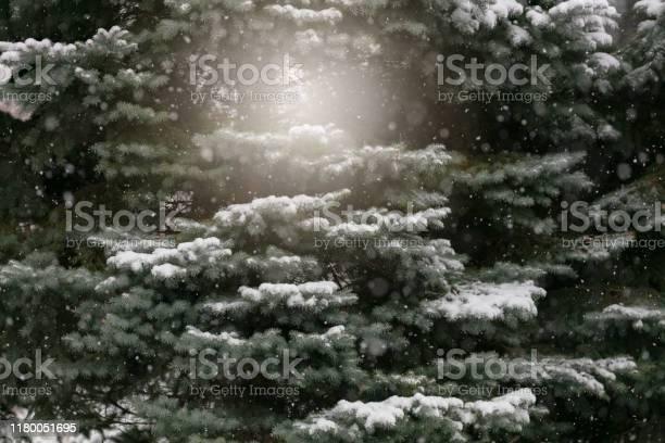 Photo of Snowfall on a Blue Spruce