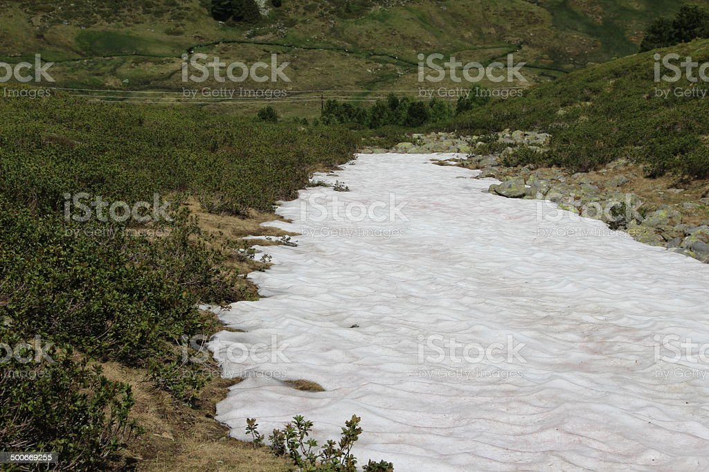 Snowfield and Rhododendron in the Alps, Kühtai, Tyrol, Austria stock photo