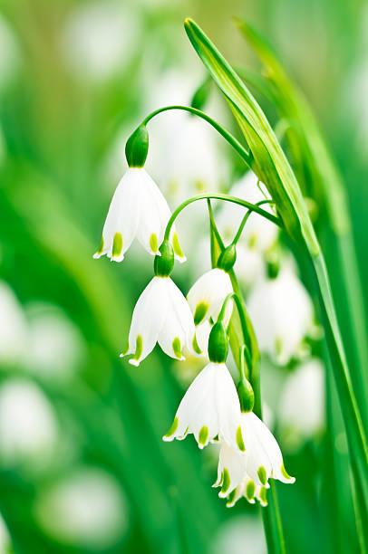 snowflake (galanthus) blumen-iv - leucojum stock-fotos und bilder