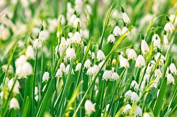 snowflake (galanthus) blumen-v - leucojum stock-fotos und bilder