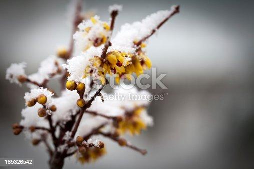 macro of snowflakes on calycanthus flowers