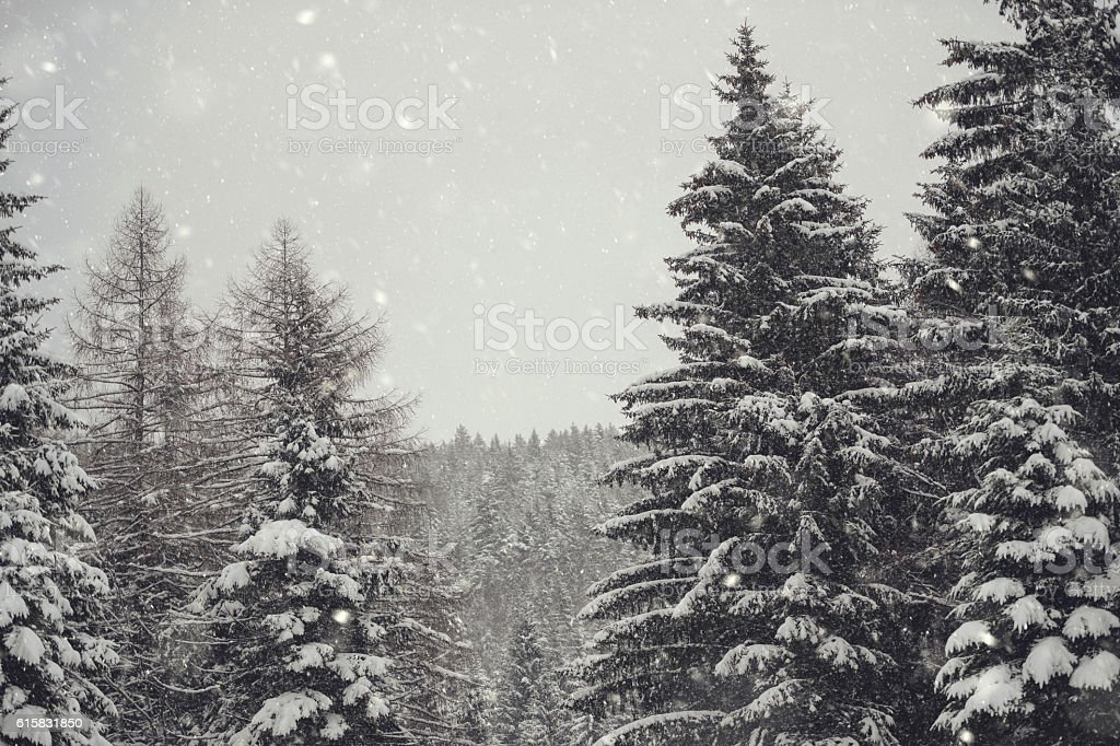 Snowing In Pine Forest stock photo
