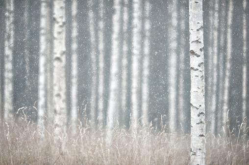 A birch tree trunk in powder snow.