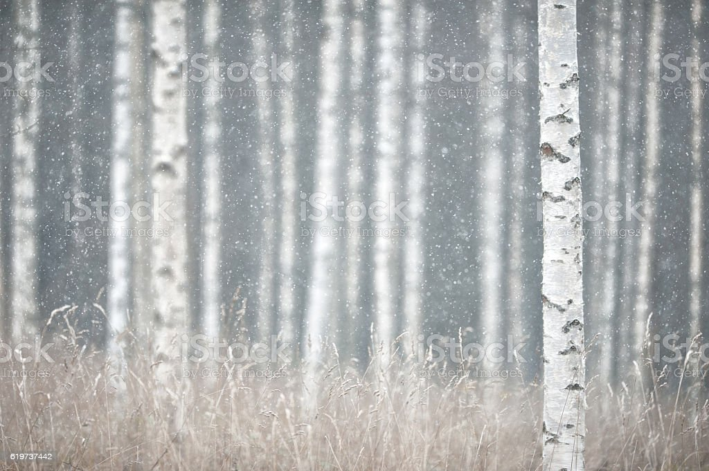 Snowing in the forest​​​ foto