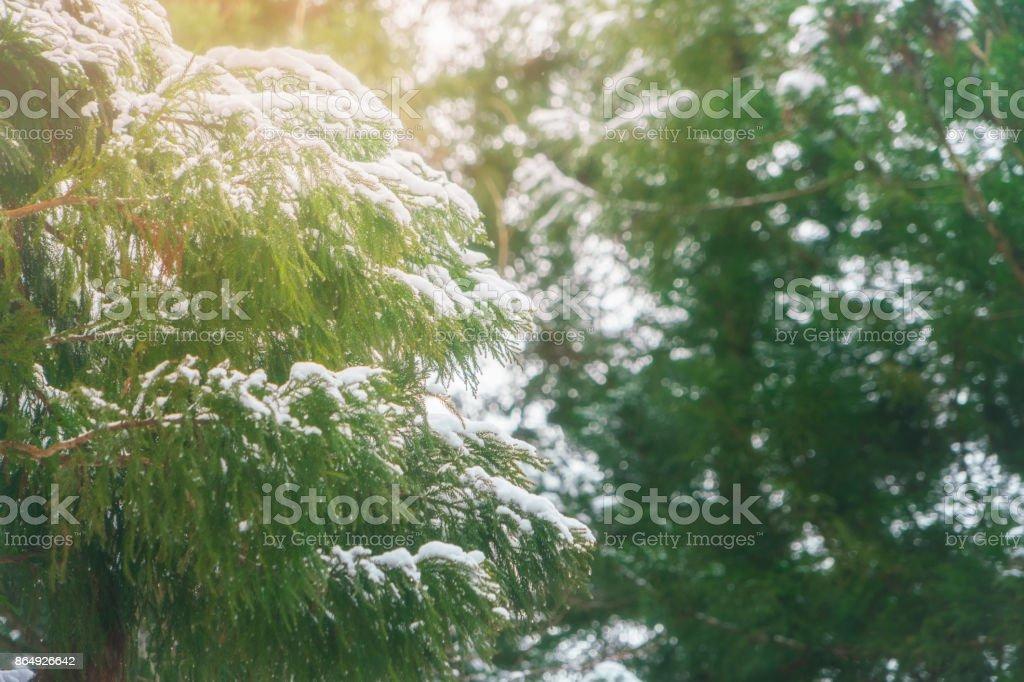 Snowing on tree at Shirakawago, Japan stock photo
