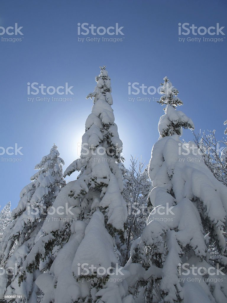 Snow-Laden Firs Ascending Mt Moriah stock photo