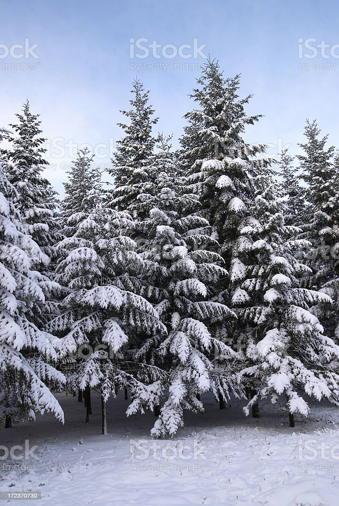 snowly firs royalty-free stock photo