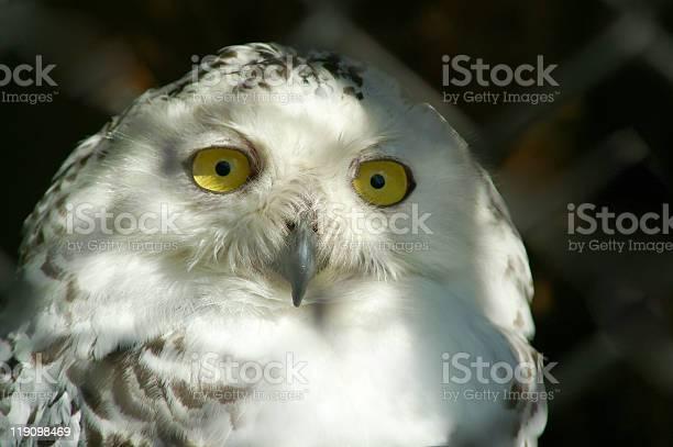 Snowly owl picture id119098469?b=1&k=6&m=119098469&s=612x612&h=awvommvsp3yzmzym65esmlhbi6ktxgralp bjuxxsr4=