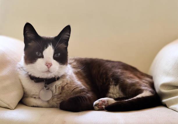 雪鞋貓 - 衣領 個照片及圖片檔