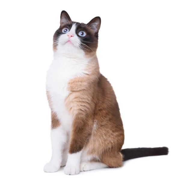 Snowshoe cat picture id924857302?b=1&k=6&m=924857302&s=612x612&w=0&h=3jwf8uqcycopqmwa3twadxqfjym0iwljwbe6ynjkwkm=