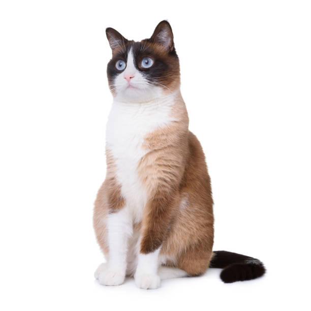 Snowshoe cat picture id924857962?b=1&k=6&m=924857962&s=612x612&w=0&h=p1jkitpjba1irffkmumhtnxxsdpi8h56 o7jgcqvjvo=
