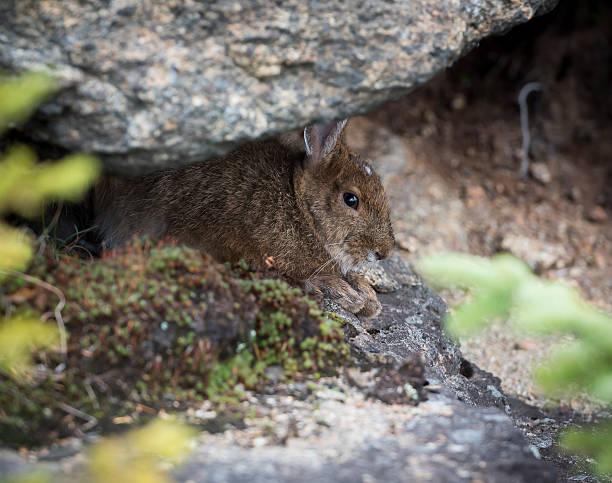 snowshoe hare hiding - schneeschuhhase stock-fotos und bilder