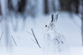 Snowshoe hare looking at his forest on a snowy day. The hare is white on his white landscape scattered with little branches and other bush, far in a background who can see some trees.