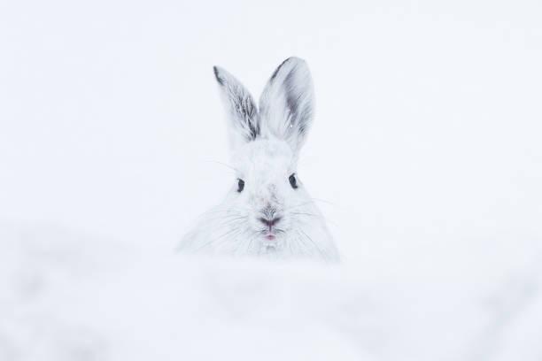 schneeschuh-hase schaut uns an einem verschneiten tag - schneeschuhhase stock-fotos und bilder