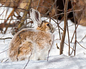 european wildcat, felis silvestris, hunting on meadow in winter nature. Stripped predator protecting a prey on white field. Brown hunter standing next to dead rabbit on snow.