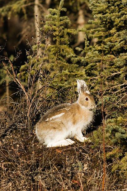 schneeschuhhase, kaninchen bunny - schneeschuhhase stock-fotos und bilder