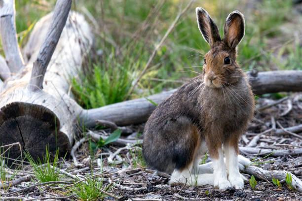 schneeschuh-hase - yellowstone-nationalpark - schneeschuhhase stock-fotos und bilder