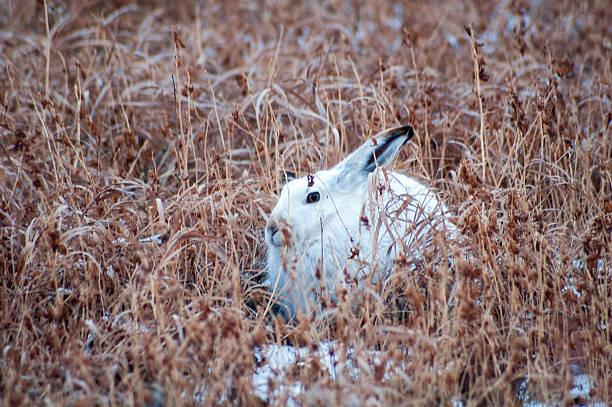 snowshoe kaninchen komplett in winterweiß im hohen gras im herbst - schneeschuhhase stock-fotos und bilder
