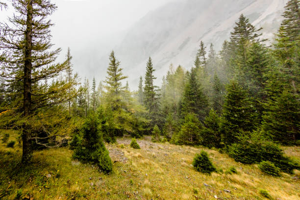 snowstorm in autumn - pinaceae stock photos and pictures