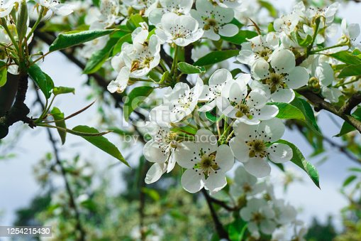 Snow-white flowers of cherrytree bloomed among young green leaves in the spring garden.