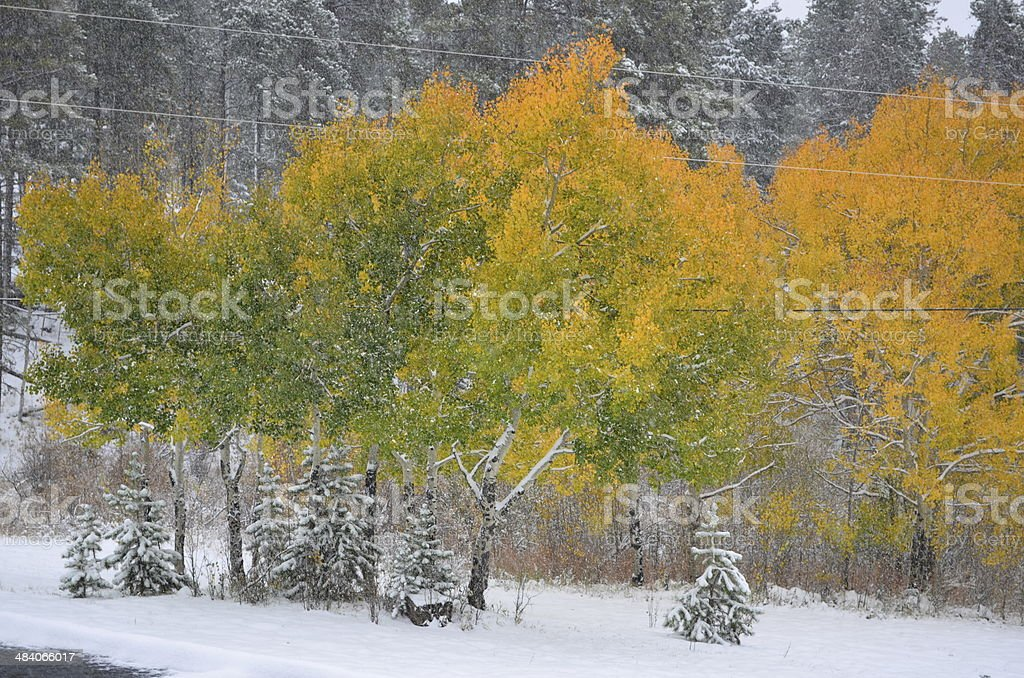 Snowy Aspen stock photo