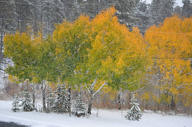 Snowy Aspen stock photo