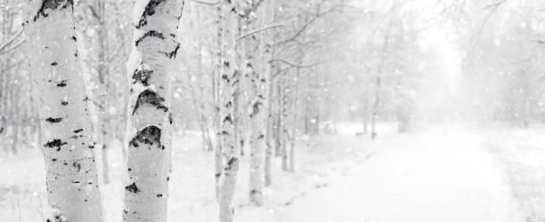 Snowy birch park stock photo