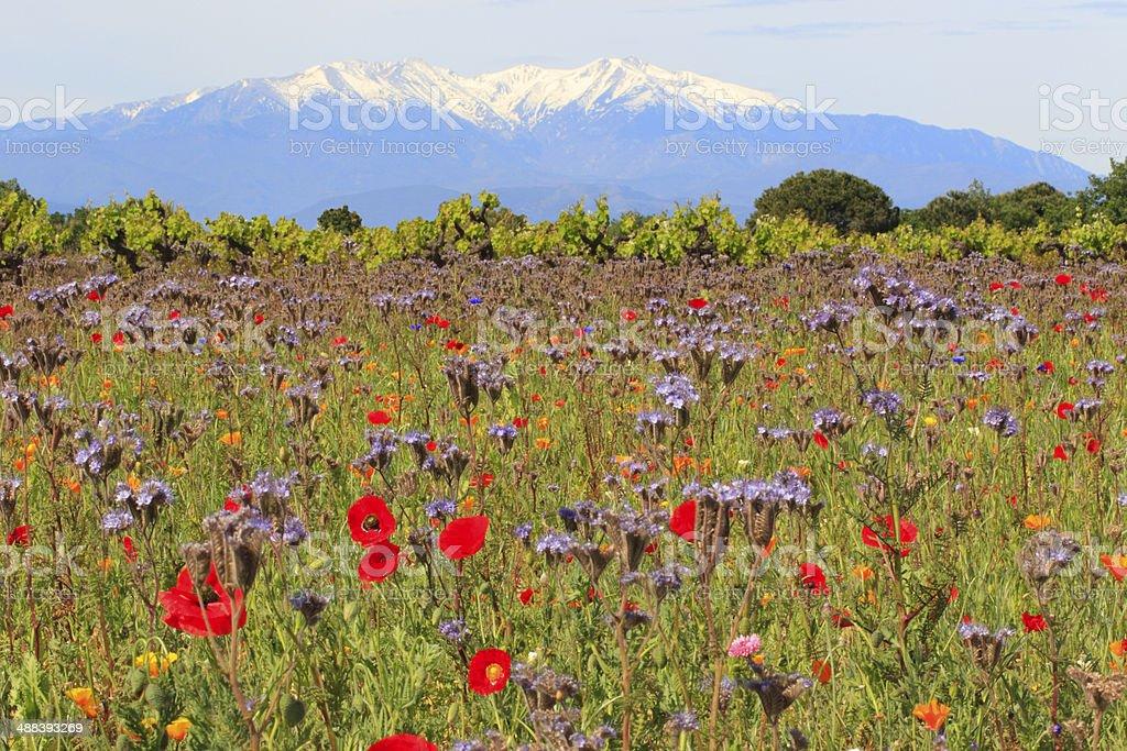 Canigou enneigé et fleurs champêtres Prairie recouverte de fleurs champêtres et de vignes ; à l'arrière plan, le mont Canigou enneigé - France, Europe. Agricultural Field Stock Photo